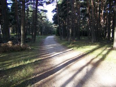 Beau sentier à travers les pins entre Saugues et la Clauze